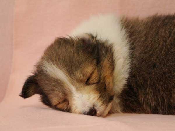 シェットランドシープドッグ(シェルティー、シェルティ)子犬販売、セーブル&ホワイト、女の子(牝、雌、メス、Female)、2016年10月15日生れ、神奈川県ブリーダー、ID10451
