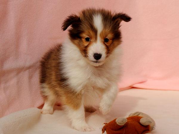 シェットランドシープドッグ(シェルティー、シェルティ)子犬販売、セーブル&ホワイト、男の子(牡、雄、オス、Male)、2016年10月15日生れ、神奈川県ブリーダー、ID10449