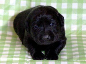 ラブラドールレトリーバー子犬販売、ブラック(黒ラブ)、男の子(牡、雄、オス、Male)、2016年11月23日産まれ、千葉県ブリーダー、ID10502