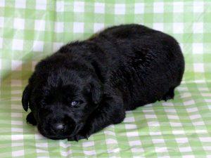 ラブラドールレトリーバー子犬販売、ブラック(黒ラブ)、男の子(牡、雄、オス、Male)、2016年11月23日産まれ、千葉県ブリーダー、ID10503