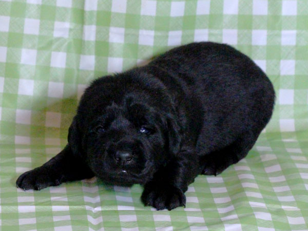 ラブラドールレトリーバー子犬販売、ブラック(黒ラブ)、男の子(牡、雄、オス、Male)、2016年11月23日産まれ、千葉県ブリーダー、ID10504