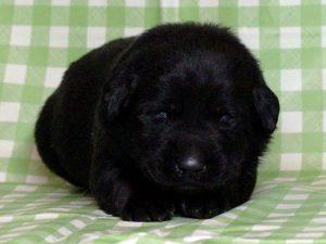ラブラドールレトリーバー子犬販売、ブラック(黒ラブ)、男の子(牡、雄、オス、Male)、2016年11月23日産まれ、千葉県ブリーダー、ID10505