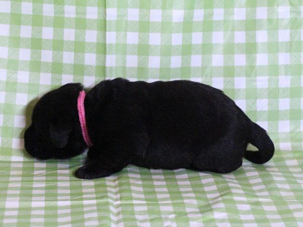 ラブラドールレトリーバー子犬販売、ブラック(黒ラブ)、女の子(牝、雌、メス、Female)、2016年11月23日産まれ、千葉県ブリーダー、ID10506