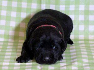 ラブラドールレトリーバー子犬販売、ブラック(黒ラブ)、女の子(牝、雌、メス、Female)、2016年11月23日産まれ、千葉県ブリーダー、ID10507