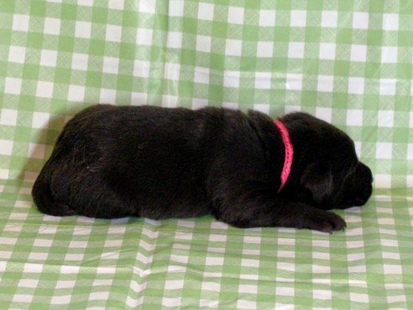 ラブラドールレトリーバー子犬販売、チョコレート(チョコラブ)、女の子(牝、雌、メス、Female)、2016年11月23日産まれ、千葉県ブリーダー、ID10508