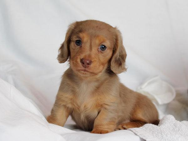 ミニチュアダックスフンド子犬販売情報、ロングヘアード、イザベラダップル、女の子(牝、雌、メス、Female)、2016年10月26日生れ、東京都ブリーダー、ID10509