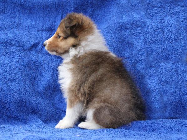 シェットランドシープドッグ(シェルティー、シェルティ)子犬販売、女の子(牝,雌,メス,Female)、セーブル(SBL:Sable、セーブル&ホワイト)、2016年11月20日産まれ、東京都ブリーダー、ID10586