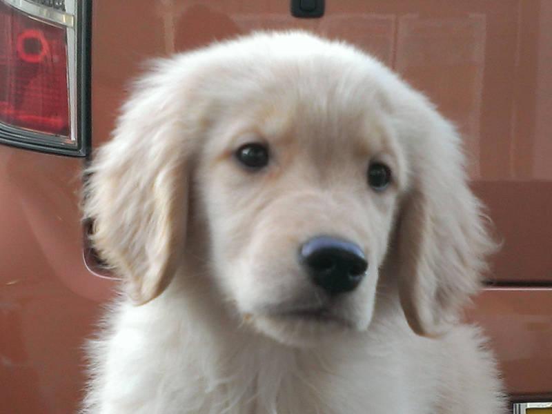 ゴールデンレトリーバー子犬販売、男の子(牡,雄,オス,Male)、ゴールド、2016年11月14日産まれ、北海道ブリーダー、ID10653