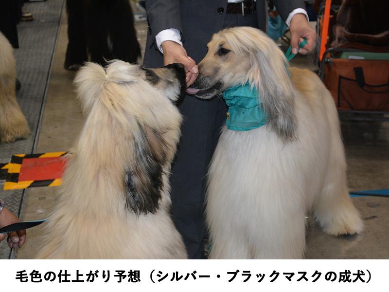 アフガンハウンド子犬販売、シルバー・ブラックマスク、成犬、毛色仕上がり予想、ID10636