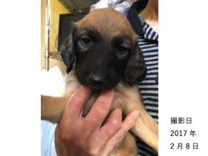 アフガンハウンド子犬販売、男の子(牡,雄,オス,Male,)、ゴールド・ブラックマスク、2017年1月7日産まれ、茨城県ブリーダーID10635