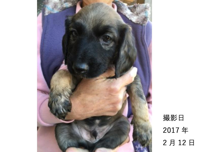 アフガンハウンド子犬販売、男の子(牡,雄,オス,Male)、シルバー・ブラックマスク、2017年1月7日産まれ、茨城県ブリーダー、ID10636