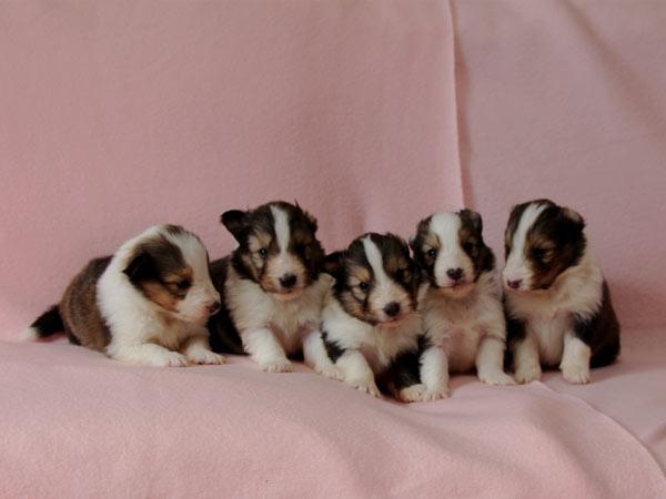 シェットランドシープドッグ(シェルティー、シェルティ)子犬販売、セーブル(セーブル&ホワイト)、男の子(牡,雄,オス,Male)、女の子(牝,雌,メス,Female)2017年2月4日産まれ、神奈川県ブリーダー、ID10686、ID10687、ID10688、ID10689、ID10690