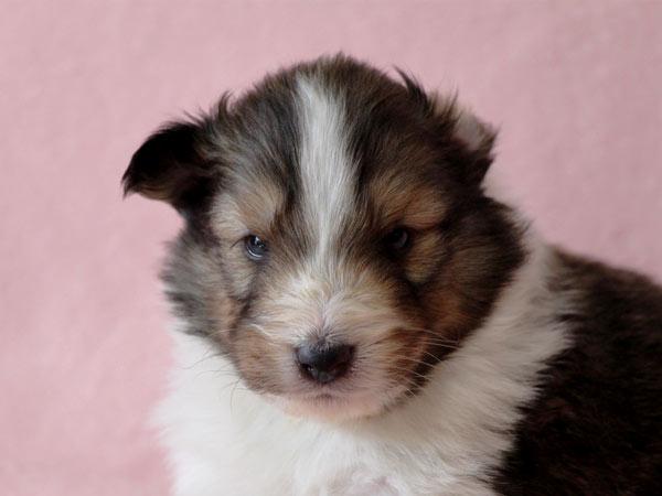 シェットランドシープドッグ(シェルティー、シェルティ)子犬販売、セーブル(セーブル&ホワイト)、男の子(牡,雄,オス,Male)、2017年2月4日産まれ、神奈川県ブリーダー、ID10686