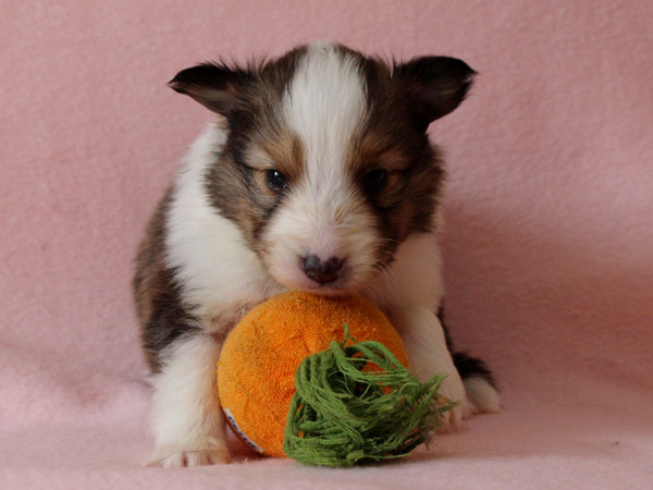 シェットランドシープドッグ(シェルティー、シェルティ)子犬販売、セーブル(セーブル&ホワイト)、男の子(牡,雄,オス,Male)、2017年2月4日産まれ、神奈川県ブリーダー、ID10687