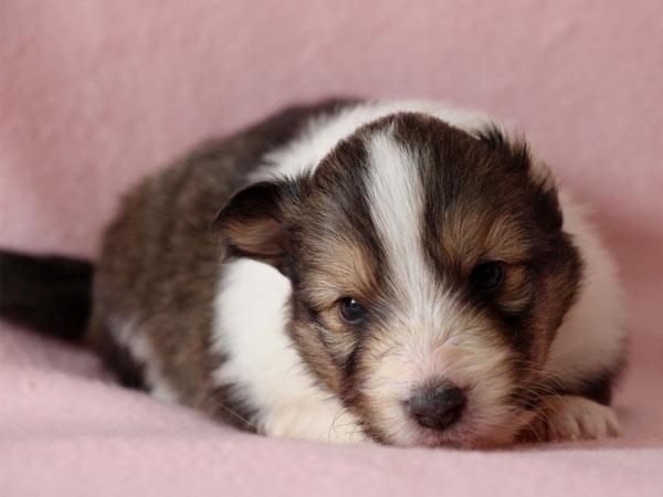 シェットランドシープドッグ(シェルティー、シェルティ)子犬販売、セーブル(セーブル&ホワイト)、女の子(牝,雌,メス,Female)、2017年2月4日産まれ、神奈川県ブリーダー、ID10688