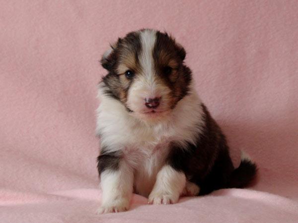 シェットランドシープドッグ(シェルティー、シェルティ)子犬販売、セーブル(セーブル&ホワイト)、女の子(牝,雌,メス,Female)、2017年2月4日産まれ、神奈川県ブリーダー、ID10689