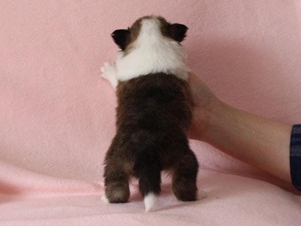 シェットランドシープドッグ(シェルティー、シェルティ)子犬販売、セーブル(セーブル&ホワイト)、女の子(牝,雌,メス,Female)、2017年2月4日産まれ、神奈川県ブリーダー、ID10690