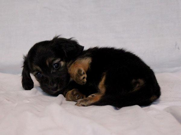 ミニチュアダックスフンド子犬販売、ID10698
