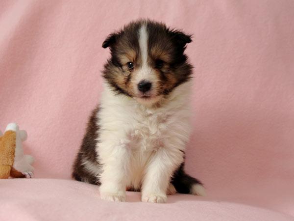 シェルティー子犬販売、ID10686