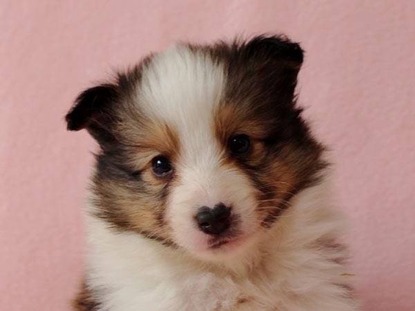 シェルティー子犬販売、ID10687