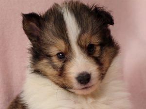 シェルティー子犬販売、ID10688