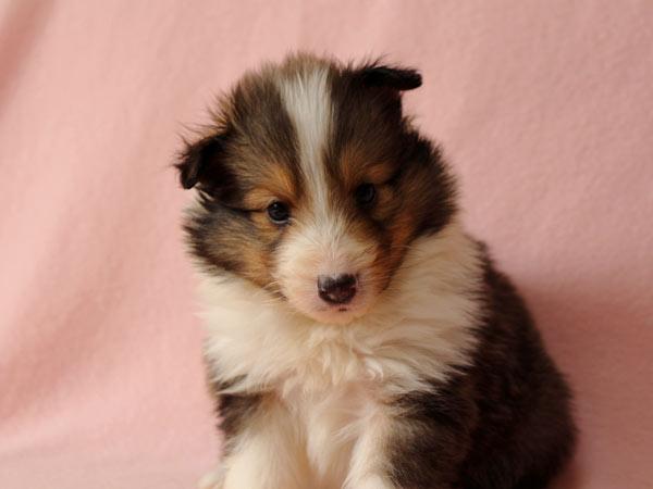 シェルティー子犬販売、ID10689