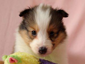 シェルティー子犬販売、ID10690