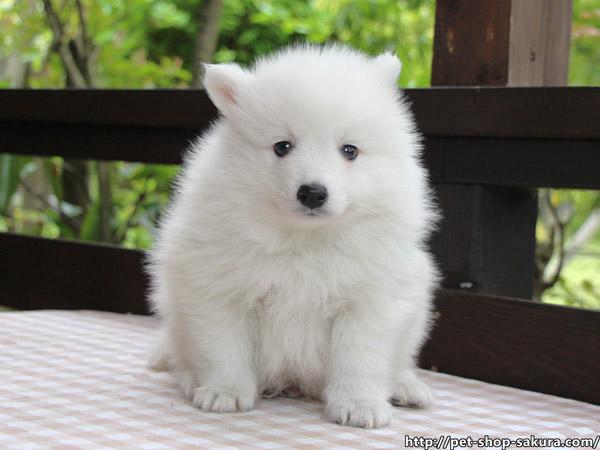 日本スピッツ子犬販売、純白、男の子(オス)、2017年03月11日産まれ、神奈川県ブリーダー、ID10810