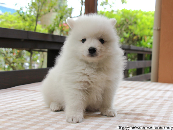 日本スピッツ子犬販売、純白、女の子(メス)、2017年03月11日産まれ、神奈川県ブリーダー、ID10809