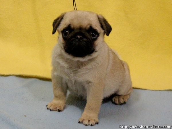パグ子犬販売、フォーン、男の子(オス)、2017年01月16日産まれ、千葉県ブリーダー、ID10727