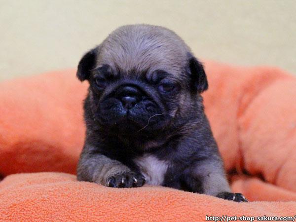 パグ子犬販売、フォーン、男の子(オス)、2017年03月06日産まれ、千葉県ブリーダー、ID10728