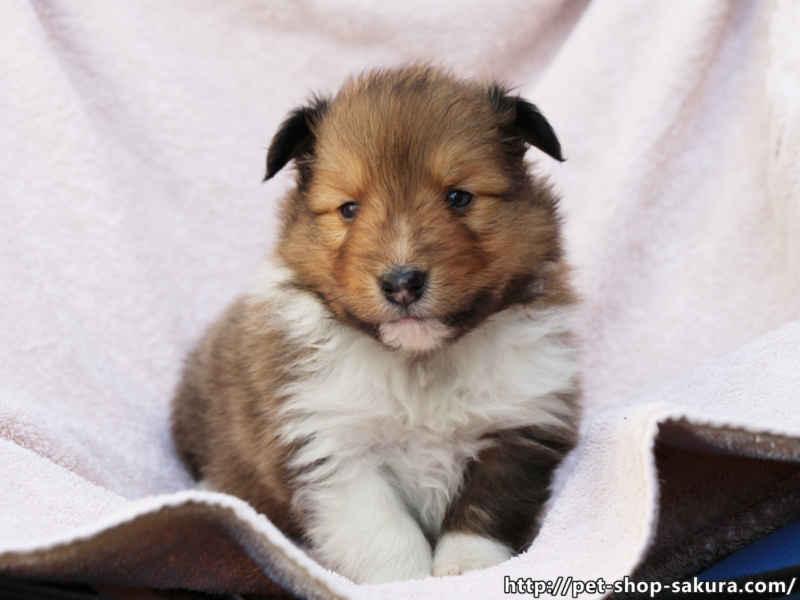 シェットランドシープドッグ(シェルティー)子犬販売、セーブル、男の子(オス)、2017年04月03日産まれ、神奈川県ブリーダー、ID10830