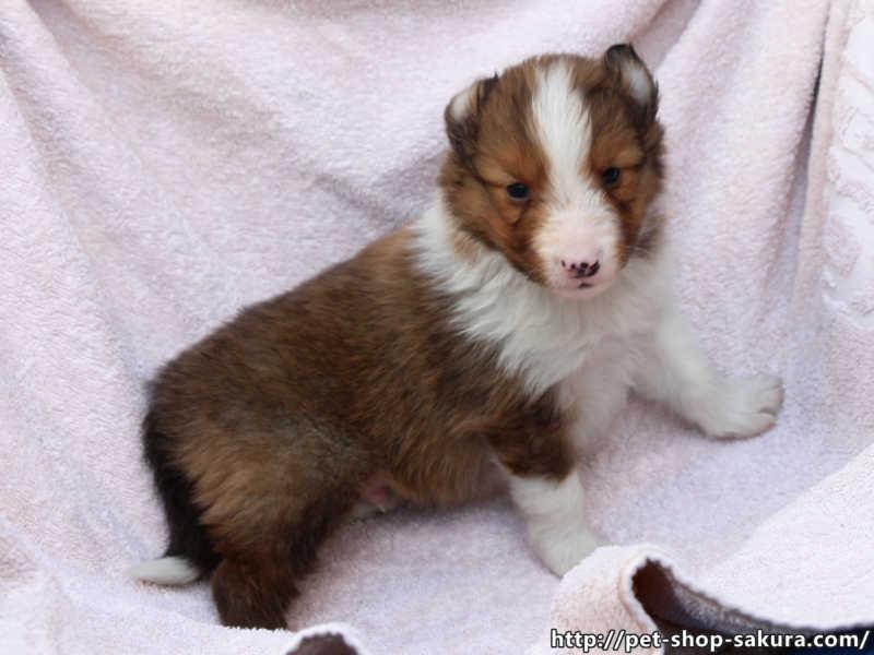 シェットランドシープドッグ(シェルティー)子犬販売、セーブル、男の子(オス)、2017年04月03日産まれ、神奈川県ブリーダー、ID10831