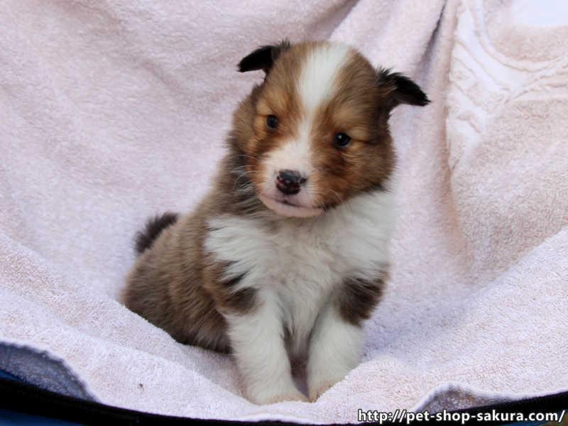 シェットランドシープドッグ(シェルティー)子犬販売、セーブル、男の子(オス)、2017年04月03日産まれ、神奈川県ブリーダー、ID10832