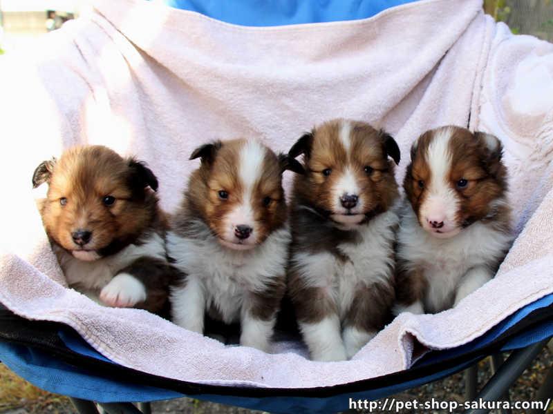 シェットランドシープドッグ(シェルティー)子犬販売、セーブル、男の子(オス)、女の子(メス)、2017年04月03日産まれ、神奈川県ブリーダー、ID10830、ID10831、ID10832