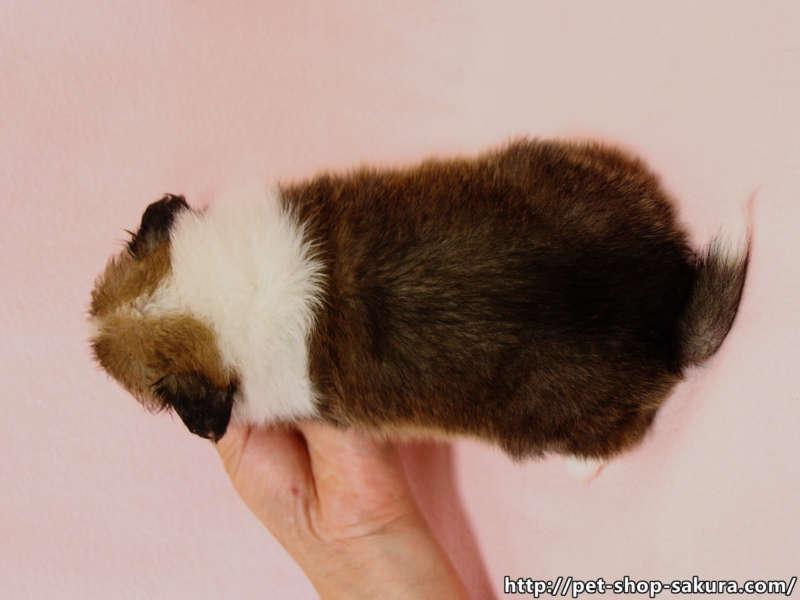 シェットランドシープドッグ(シェルティー)子犬販売、セーブル、フルカラー、ブレーズ有り、男の子(オス)、 2017年05月11日産まれ、神奈川県ブリーダー、ID10955