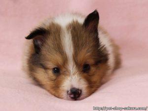 シェットランドシープドッグ(シェルティー)子犬販売、セーブル、フルカラー、ブレーズ有り、男の子(オス)、2017年05月11日産まれ、神奈川県ブリーダー、ID10956