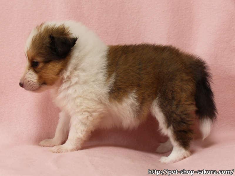 シェットランドシープドッグ(シェルティー)子犬販売、セーブル、フルカラー、ブレーズ有り、女の子(メス)、2017年05月11日産まれ、神奈川県ブリーダー、ID10958