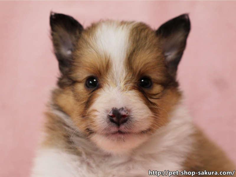 シェットランドシープドッグ(シェルティー)子犬販売、セーブル、フルカラー、ブレーズ有り、女の子(メス)、2017年05月11日産まれ、神奈川県ブリーダー、ID10959
