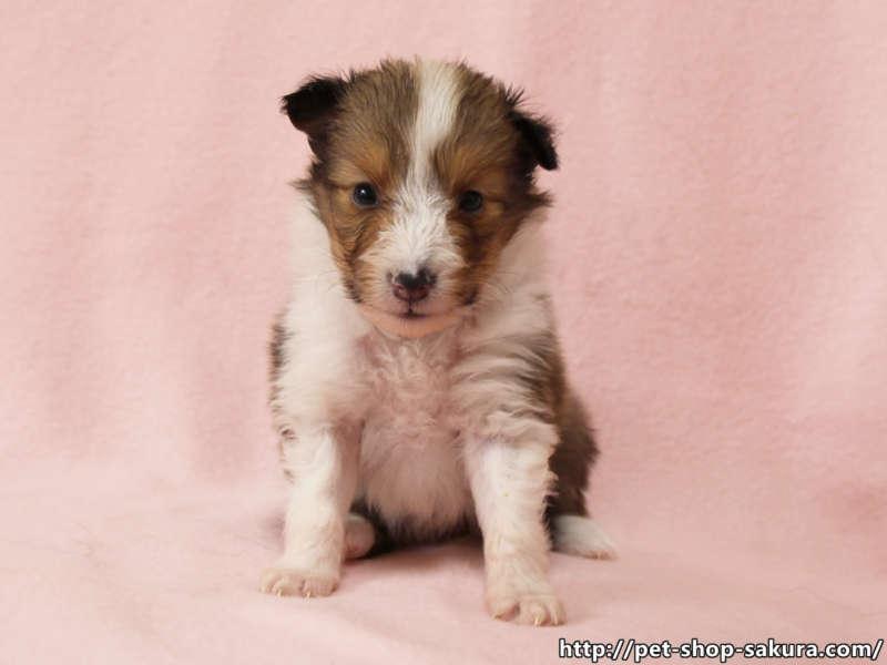 シェットランドシープドッグ(シェルティー)子犬販売、セーブル、フルカラー、ブレーズ有り、女の子(メス)、2017年05月11日産まれ、神奈川県ブリーダー、ID10960