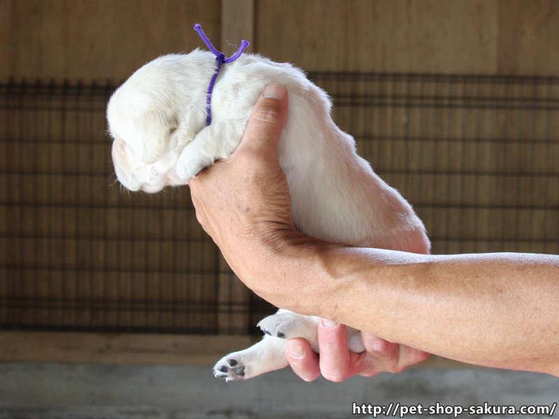 ラブラドールレトリーバー子犬販売、イエロー、男の子(牡、Male)、2017年06月09日産まれ、茨城県ブリーダー、横向き、ID10983