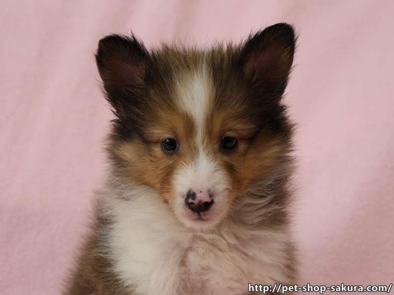 シェットランドシープドッグ(シェルティー)子犬販売、セーブル、半カラー、ブレーズ有り、男の子(オス)、2017年05月11日産まれ、神奈川県ブリーダー、ID10957(お顔)