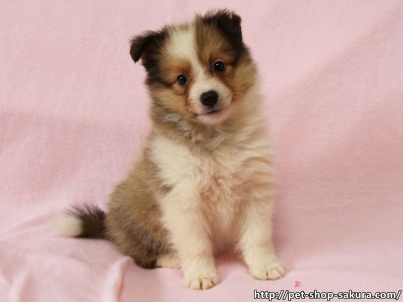 シェットランドシープドッグ(シェルティー)子犬販売、セーブル、フルカラー、ブレーズ有り、女の子(メス)、2017年05月11日産まれ、神奈川県ブリーダー、ID10959(正面)