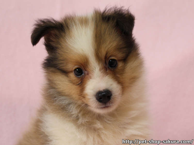 シェットランドシープドッグ(シェルティー)子犬販売、セーブル、フルカラー、ブレーズ有り、女の子(メス)、2017年05月11日産まれ、神奈川県ブリーダー、ID10959(お顔)