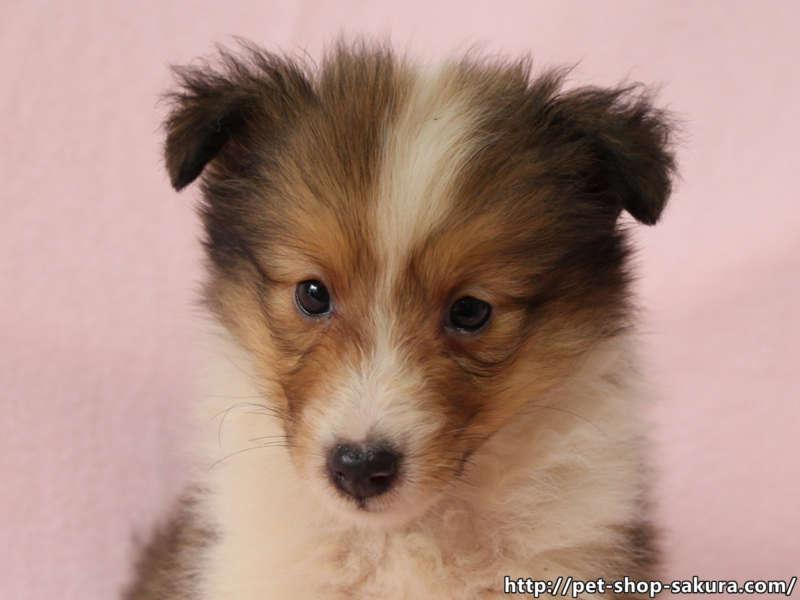 シェットランドシープドッグ(シェルティー)子犬販売、セーブル、フルカラー、ブレーズ有り、女の子(メス)、2017年05月11日産まれ、神奈川県ブリーダー、ID10960(お顔)
