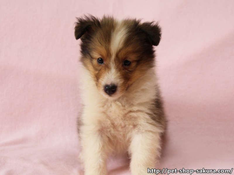 シェットランドシープドッグ(シェルティー)子犬販売、セーブル、フルカラー、ブレーズ有り、女の子(メス)、2017年05月11日産まれ、神奈川県ブリーダー、ID10960(正面、おすわり)