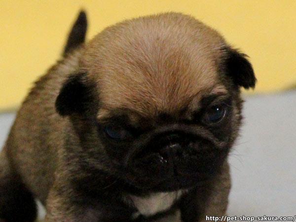 パグ子犬販売、フォーン、女の子(メス)、2017年03月06日産まれ、千葉県ブリーダー、ID10730