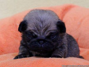 パグ子犬販売、フォーン、男の子(オス)、2017年03月06日産まれ、千葉県ブリーダー、ID10729