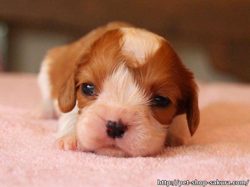 キャバリア子犬販売、女の子(メス)、ブレインハイム、2017年04月18日産まれ、神奈川県ブリーダー、ID10845