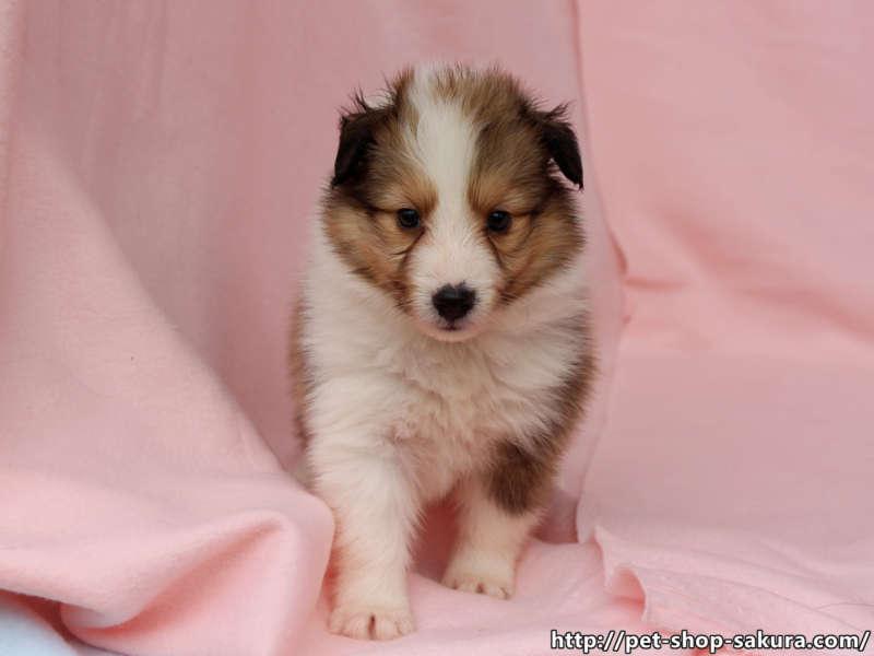シェットランドシープドッグ(シェルティー)子犬販売、セーブル(セーブル&ホワイト)、女の子(メス)、2017年03月31日産まれ、神奈川県ブリーダー、ID10870